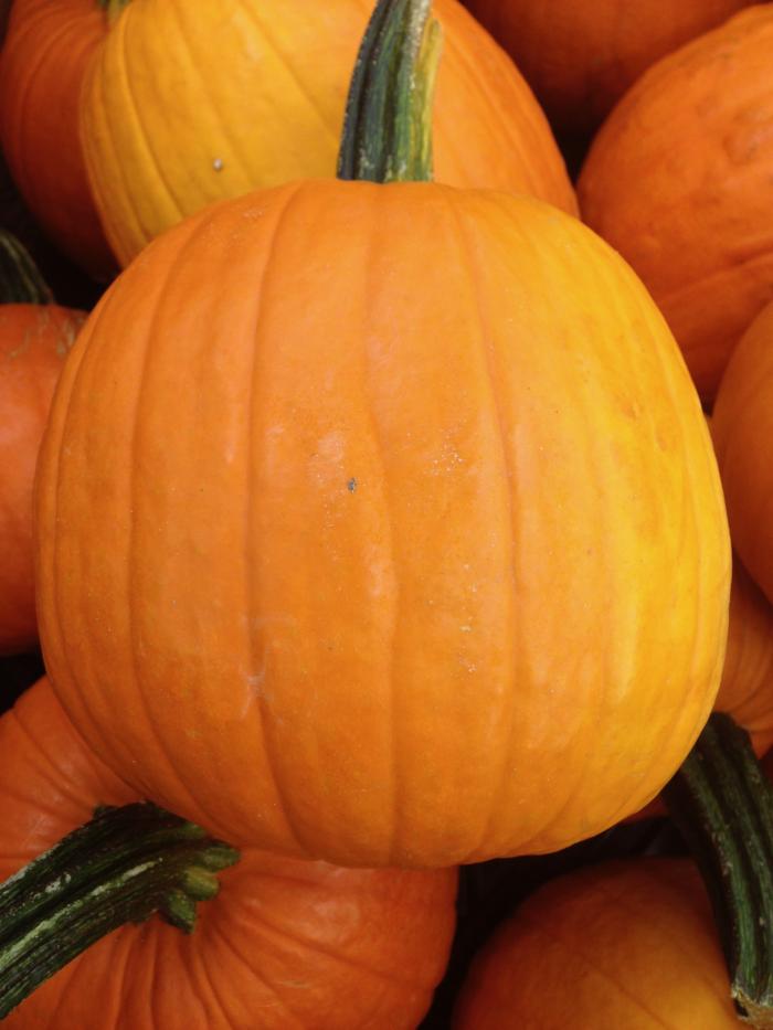A pie pumpkin from the farmer's market